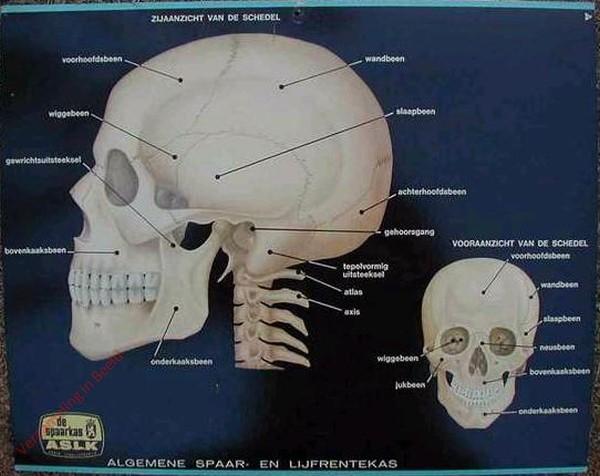 Zijaanzicht van de schedel. Vooraanzicht van de schedel